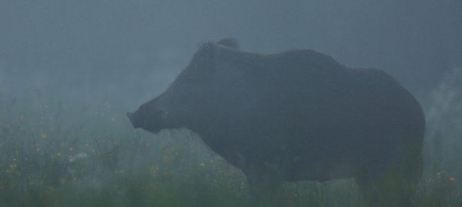 Peste porcine africaine ; marche à suivre sur le terrain